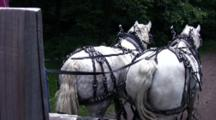 Grey And White Percheron Horses Trotting Down Curving Wooded Lane, Pulling Wagon