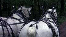 Horse-Drawn Wagon Ride, White Draft Horses Walking Down Wooded Lane, Pulling Wagon