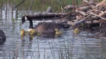 Canada Goose Parents And Goslings, In Water For First Time, Goslings Playing