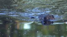 Beaver Swimming In Pond Toward Camera, Reflection Of Nose In Water