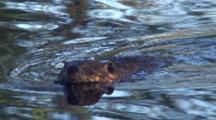 Beaver, Swimming, Turns, Sniffing Air For Danger