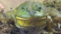 Bullfrog, Facing Camera, Breathing Heavily