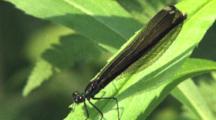 Ebony Jewelwing Damselfly, Flashing Wings, Resting On Green Leaf, Exits