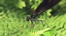 Female Ebony Jewelwing Damselfly, Eating Entire Mosquito Prey