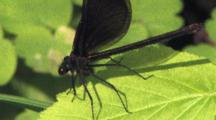 Ebony Jewelwing Damselfly, Female, Flashing Wings, Resting On Green Leaf