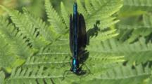 Male Ebony Jewelwing Damselfly, Fern Leaf