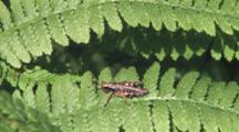 Short-Horned Grasshopper, Resting On Leaf, Slight Breeze
