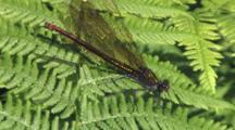 Ebony Jewelwing Damselfly, Female, Moving Wings