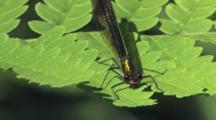 Ebony Jewelwing Damselfly On Fern Leaf, Female, Slight Breeze