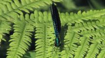 Male Ebony Jewelwing Damselfly On Fern Leaf, Butterfly Comes, Bumps To Side