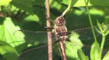 Stream Cruiser Dragonfly, Male Hanging From Plant Stem, Resting, Hunting