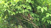 Cedar Waxwings, Nest Building In Hidden Brush Habitat