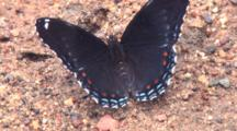 White Admiral Butterfly, Feeding In Wet Sand, Fans Wings, Walks