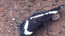 White Admiral Butterfly, Feeding On Ground, Turning, Fanning Wings