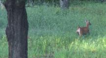 White-Tail Doe, Standing, Moves Off, Fawn Was Underneath