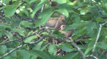 Mourning Dove Pair Building Nest, Mate Brings Material, Nesting Bird Fixes Nest, Other Bird Exits