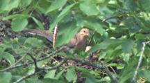 Mourning Dove On Nest, Preparing Nest, Mate Arrives Bringing More Nesting Material