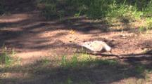 Mourning Dove On Ground, Selecting Nesting Material For Nearby Mate In Tree, Exits With Material In Beak