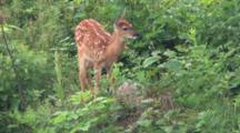 White-Tail Fawn, Browsing, Licks Side Of Body