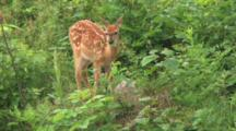 White-Tail Fawn, Licking Side, Looks Off To Side, Continues Browsing, Eating Large Green Leaf
