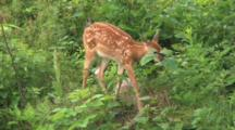White-Tail Deer Fawn, Browsing On Large Leaf, Moves Off