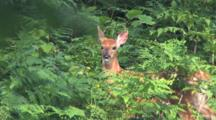 White-Tail Fawn, Browsing, Bothered By Insects, Shaking Head, Moves Off Under Brush