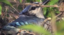 Nesting Blue Jay, Hidden In Tree Branches, Looking At Camera, Blinking