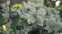 Apple Blossoms, Large Clusters