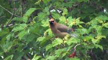 Cedar Waxwing Feeding On Highbush Cranberries, Tries Plucking Berry, Exits