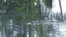 Muskrat Feeding In Pond, Dives