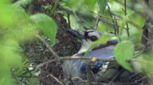 Nesting Blue Jay, Hidden In Tree Branches