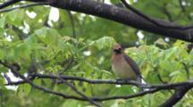 Cedar Waxwing Sitting In Ash Tree, Wipes Beak, Exits