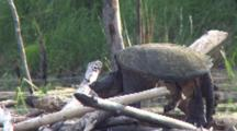 Snapping Turtle Sunning, Sleeping On Beaver Lodge, Head Lowering As Turtle Falls Asleep