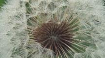 Dandelion Seed Head, Close Up Center