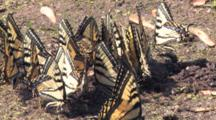 Eastern Tiger Swallowtail Butterflies, Coming, Going, Congregating In Wet Sand