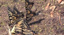 Small Group Of Eastern Tiger Swallowtail Butterflies, Coming, Going, Congregating In Wet Sand