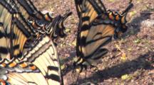 Eastern Tiger Swallowtail Butterfly, Part Of Congregation In Wet Sand
