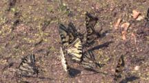 Eastern Tiger Swallowtail Butterflies, Sipping Water, Minerals, Congregation In Wet Sand