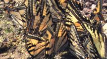 Eastern Tiger Swallowtail Butterflies, Tight Group, Others Circling, Sipping Nutrients In Wet Sand