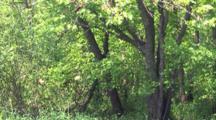 Eastern Tiger Swallowtail Butterflies, Circling Near Forest, Treeline