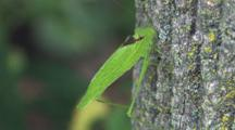 Katydid On Tree, Moving Up Bark, Swaying For Camouflage