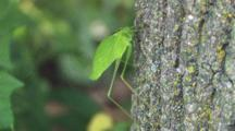 Katydid On Tree, Swaying And Moving Back Legs Up Tree