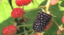 Ripe Blackberry, Hand Picks Berry