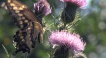 Giant Swallowtail Butterfly On Thistle Flower