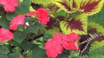 Giant Swallowtail Butterfly On Pink Impatiens Flower