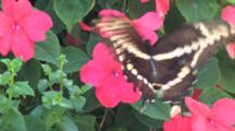 Giant Swallowtail Butterfly On Pink Impatiens Flower, Exits