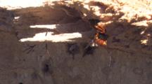 Ichneumon Wasp Searching For Site To Lay Eggs In Tree Stump