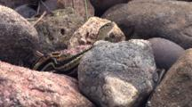 Three Eastern Garter Snakes, Together In Rock Pile, Tails Visible Beneath