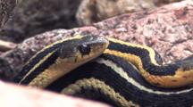 Three Eastern Garter Snakes, Together In Rock Pile, Cu Of One Head