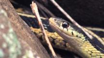 Eastern Garter Snake Face, Close Up, Body Breathing Behind
